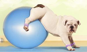 Pilates-Bull-dog.jpg
